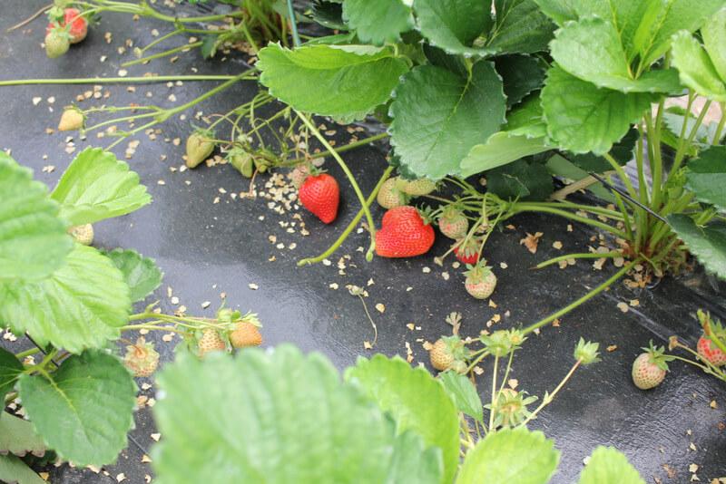 はたけの赤い苺