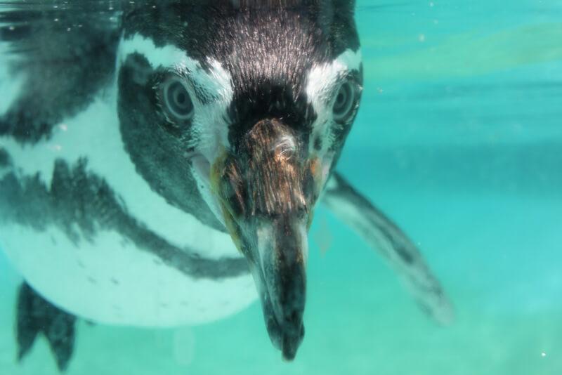 ペンギンの顔アップ